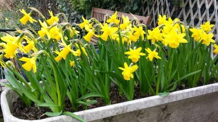 daffodils 2015 compressed